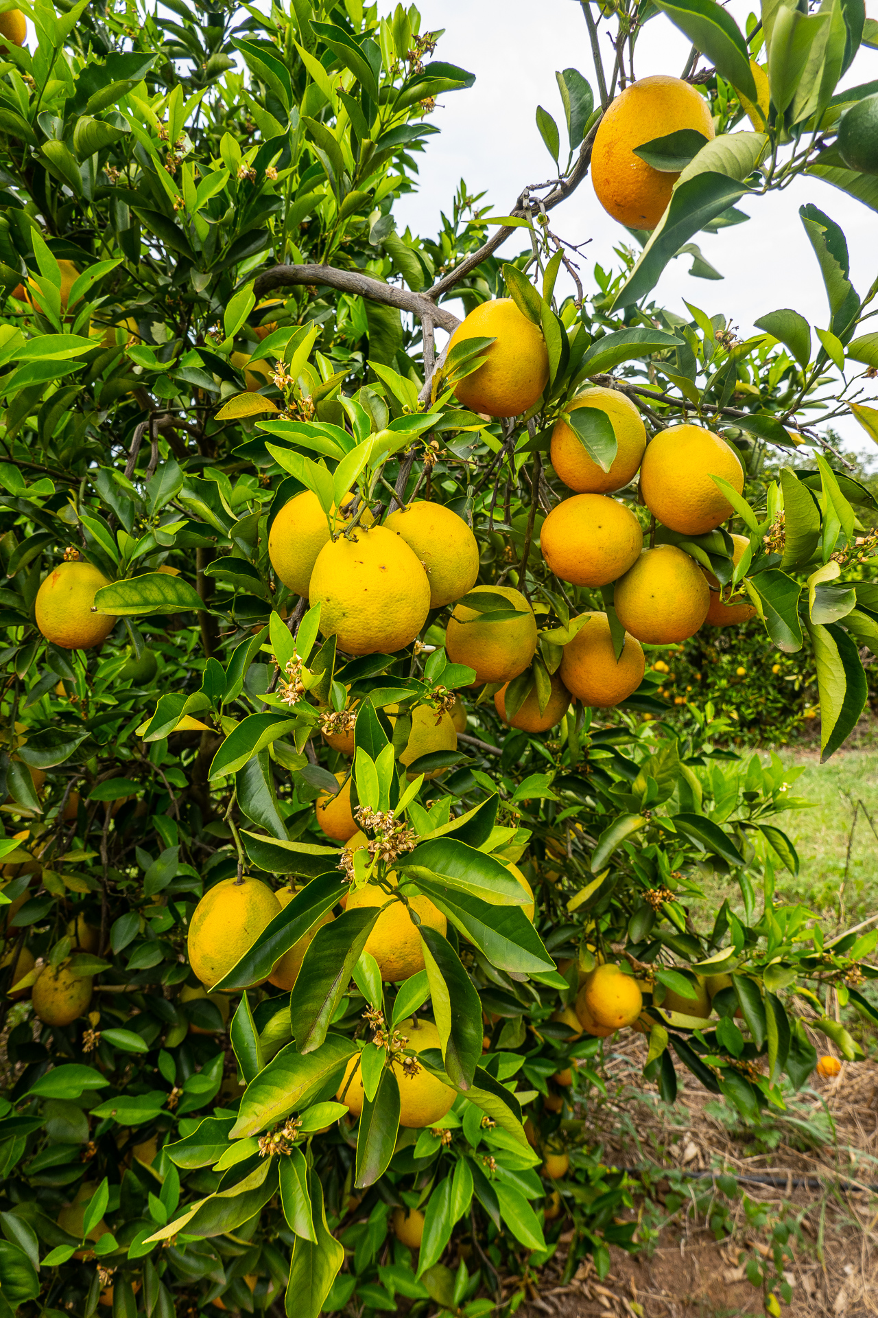 Orangen Plantage Fairtrade Brasilien Mrs Flury